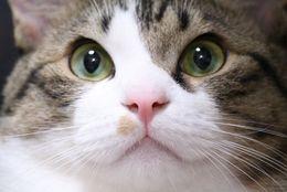 癒されるニャア~。いちばん「かわいい」と思う猫ランキング! 3位マンチカン、2位アメリカン・ショートヘア
