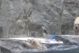 【動画】救出劇!?溺れてしまうホッキョクグマの赤ちゃんに、母クマがとった行動とは?