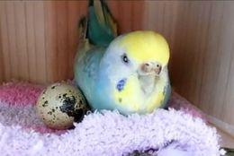 親鳥の直感!?セキセイインコがウズラの卵ひとつを選んで温めたところ...