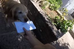 まあ、なんて賢い子...!郵便を届けたらゴールデンレトリバーが受け取りにくる家