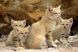 大人になっても子ネコちゃんみたい! 砂漠に住む「スナネコ」一家がキュートすぎる