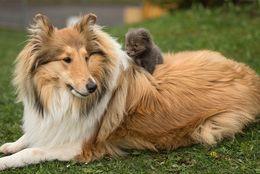 感動! 親のいないキツネの赤ちゃんを育てるコリー犬 写真10枚