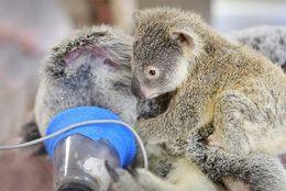 【感動】事故にあった母コアラ。赤ちゃんコアラが取った驚きの行動とは?