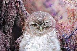 こわくないよ! 森の番人・フクロウのキュートな素顔 写真8枚