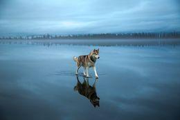 まるで鏡の国?!  凍った湖で遊ぶ、美しいハスキー犬 画像5枚