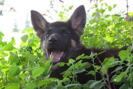 警察犬としても大活躍!かっこよすぎる「ジャーマンシェパード」30匹!