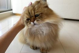 【Twitterで話題!】しょんぼり顔のもふもふ猫「ふーちゃん」の日常12選
