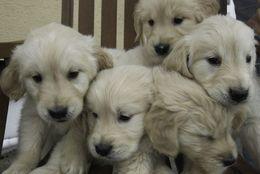 わんぱくでカワイイ! フワフワなゴールデンレトリバーの子犬30選