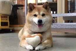 フォロワー数11万超!! 大人気の柴犬の女の子ムーコ 写真10選