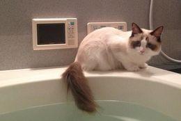 ちょっとだけ……しっぽだけの入浴をするかわいすぎるネコちゃん 画像9枚