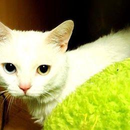 神秘的で引き込まれる魅力……珍しくてカワイイ「オッドアイ」のネコさん 画像5選
