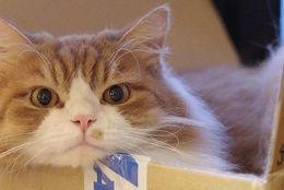 可愛くないわけがない!! すっぽり箱に入った猫さん、はこねこ 画像10選