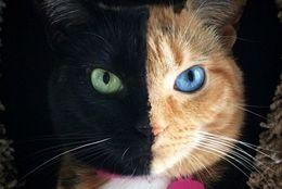 変わってる猫!顔が半分ちがう、奇跡のキメラ猫ヴィーナス☆