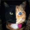 なんと神秘的? 顔が半分ちがう、奇跡のキメラ猫ヴィーナス☆  画像10選