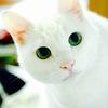 雪の精!? ふわふわ真っ白、うっとりきれいな白ネコちゃんたち大集合! 画像10選