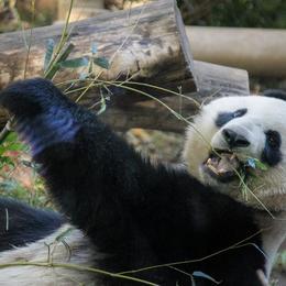 かわい……くない?! イメージが180度変わる意外な動物雑学5つ「野生のパンダ→雑食で子羊やウサギを食べる」