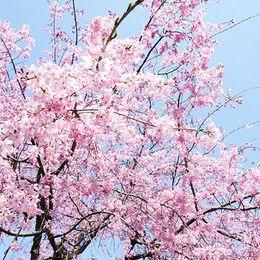 お花見の参考に! 2016年の桜の開花予想ってどうなっているの?