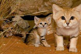 世界のネコはこんなにたくさんいた! かわいい&ユニークなネコ科動物 画像20枚