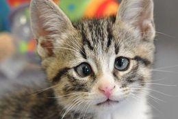 「困ってないニャー!」でも困り顔が止まらない子猫、シェルターの人気者に!