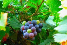 ワインバル店員が教える! ワインの基礎知識(ブドウ品種編)【学生記者】