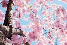 大学生に聞いた、この春行きたい関東の桜の名所ランキング! 2位井の頭恩賜公園