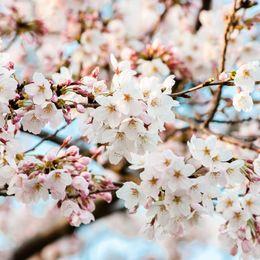 美しい東京の桜の名所15選! 桜が咲く前からチェックしたいおすすめスポット