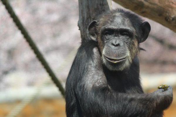 チンパンジーは料理好き?
