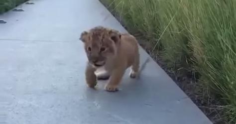 赤ちゃんライオンが吠える練習をしている様子が、とってもキュート!