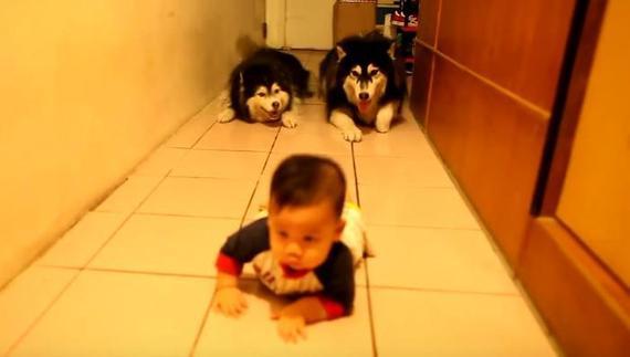 うしろうしろー!赤ちゃんのハイハイをマネするハスキー2匹の追跡劇!