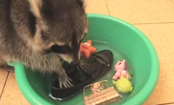 それは洗っちゃだめえええ!怒られても懲りないアライグマが淡々としていてすごい