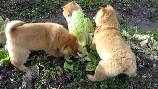 3匹の子犬がおいしい白菜の争奪戦だワン!