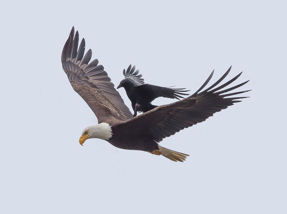 飛ぶのめんどくさ~い。大ワシの背中に乗っちゃうなまけ者カラス 写真6枚