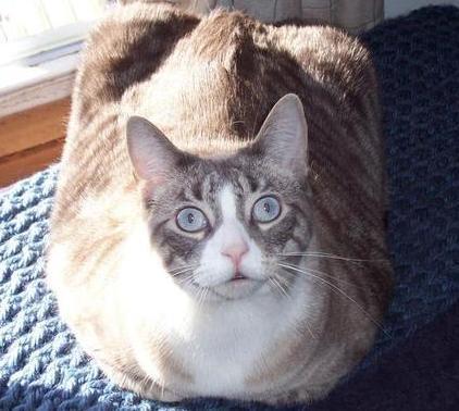 モフモフ!手足をひっこめて「香箱座り」するネコちゃん25選