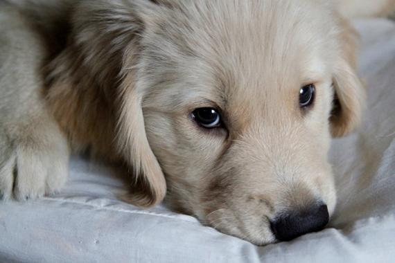 【動画】初泳ぎに挑戦する、ゴールデンレトリーバーの小犬がかわいすぎる!