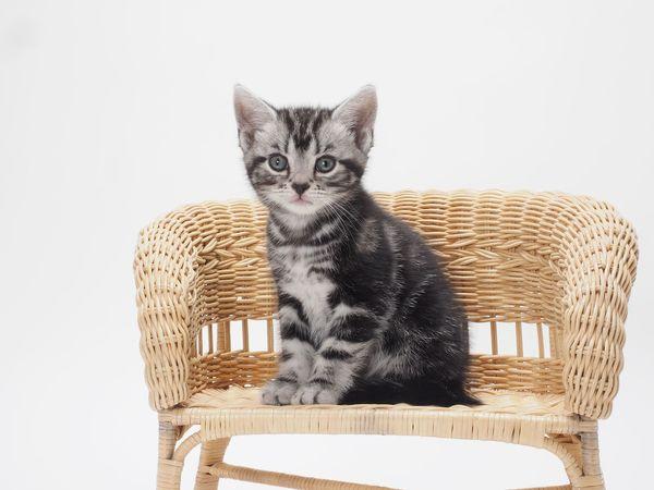 飼ってみたいネコランキング! 1位「一番ネコらしい」2位「聡明で繊細そう」