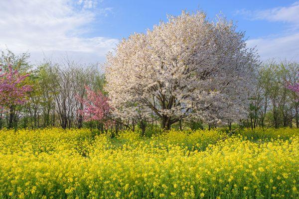 社会人に聞いた、春の訪れを実感すること「スーパーに菜の花」「異動が決まった」