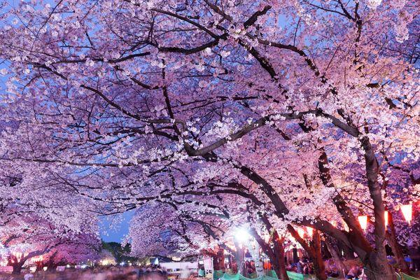 花見のお目当ては......社会人の半数以上は「花より団子」派「桜は集まる口実」「団子あっての花」